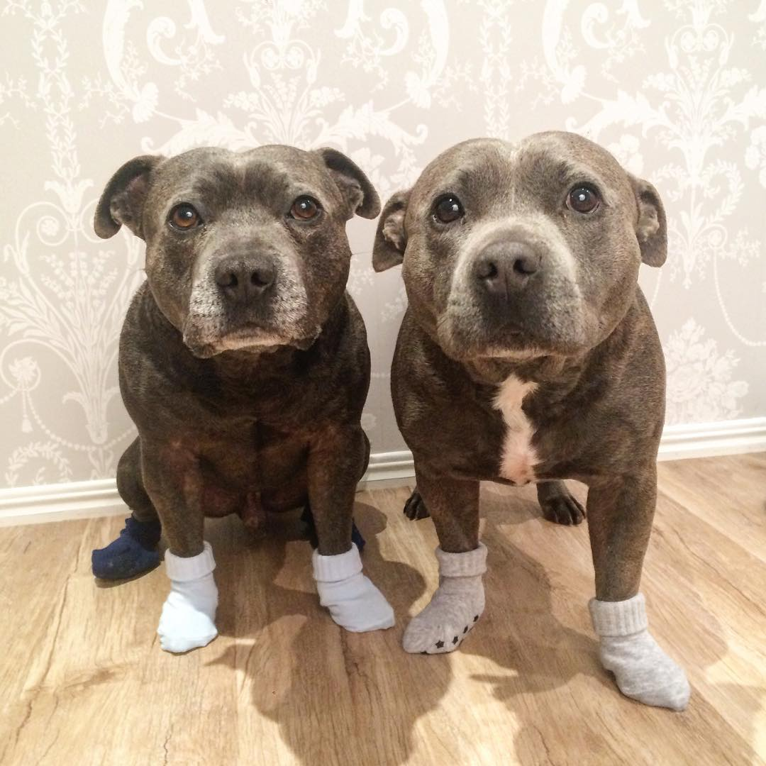 cute-dog-brothers-staffie-pit-bull-terriers-blueboys-51