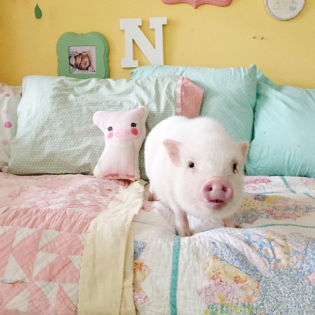 hamlet-piggy-ctute-animals-mini-pig-28