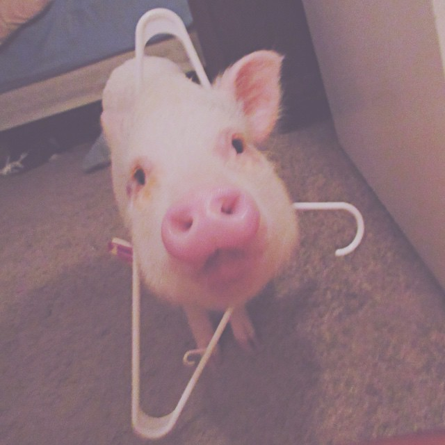hamlet-piggy-ctute-animals-mini-pig-31