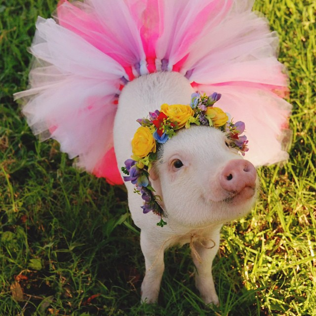 hamlet-piggy-ctute-animals-mini-pig-37