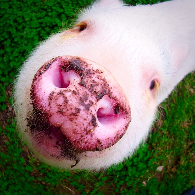 hamlet-piggy-ctute-animals-mini-pig-39
