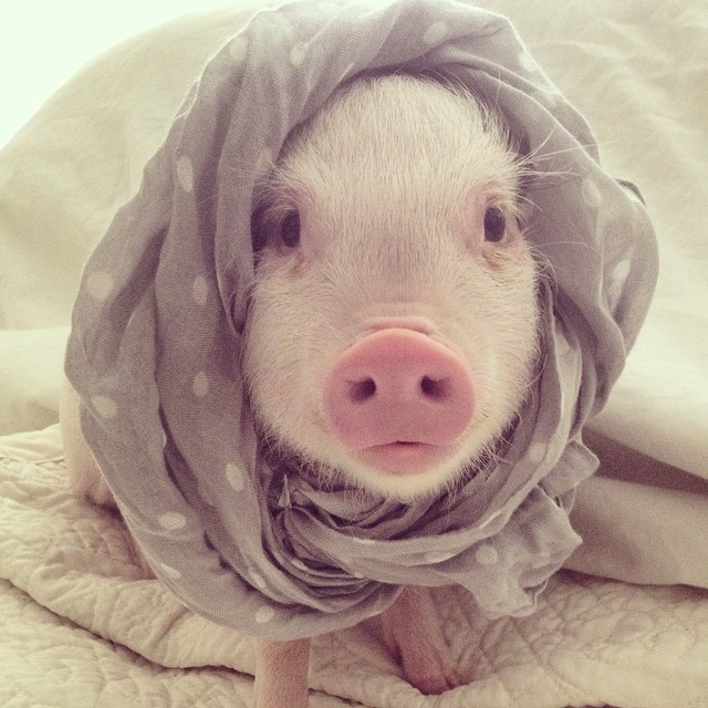 hamlet-piggy-ctute-animals-mini-pig-43