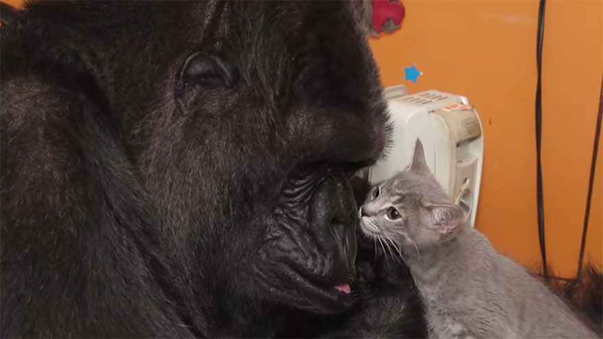 koko-gorilla-birthday-kittens-california-5