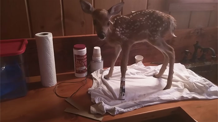 man-saves-injured-baby-deer-animal-friendship-3
