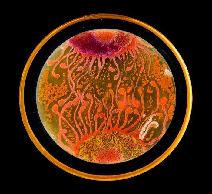 microbe-art-petri-dish-agar-contest-van-gogh-starry-night-american-society-microbiologists-47