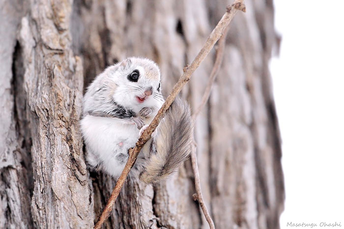 siberian-japanese-dwarf-flying-squirrel-11