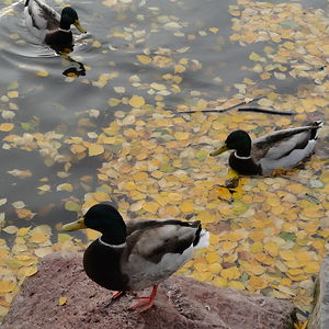 Ducks In Autumn Leaves
