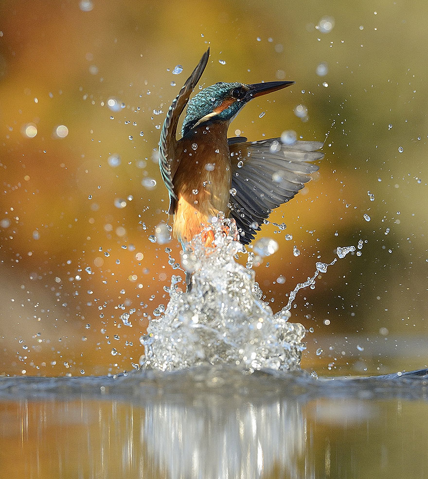 perfect-kingfisher-dive-photo--wildlife-photography-alan-mcfayden-22