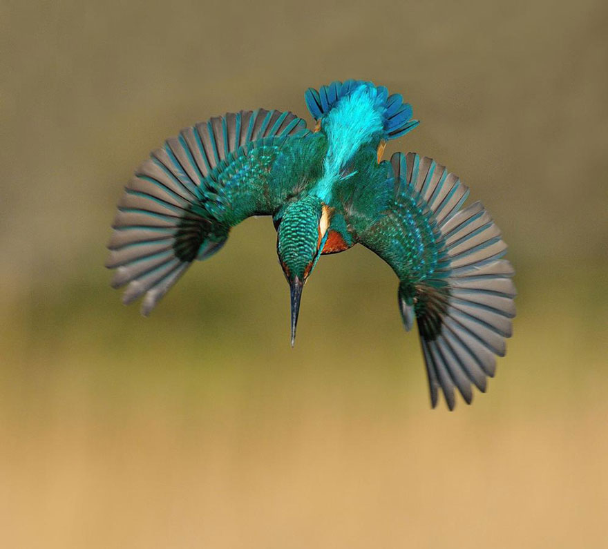 perfect-kingfisher-dive-photo--wildlife-photography-alan-mcfayden-30