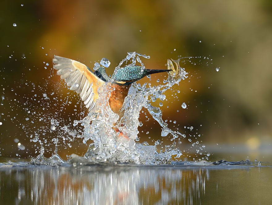 perfect-kingfisher-dive-photo--wildlife-photography-alan-mcfayden-33