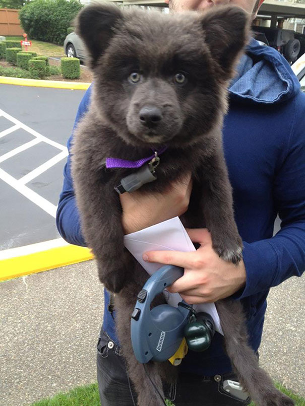German Shepherd/Akita/Corgi Puppies Are Practically Domesticated Bear Cubs