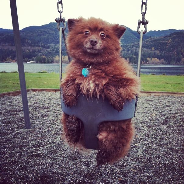 Bear Cub Finds A Swing