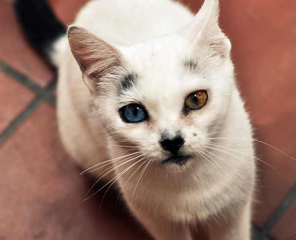cat-eyes-different-colors-heterochromia-1