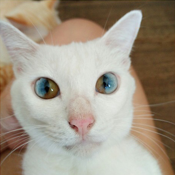 cat-eyes-different-colors-heterochromia-11