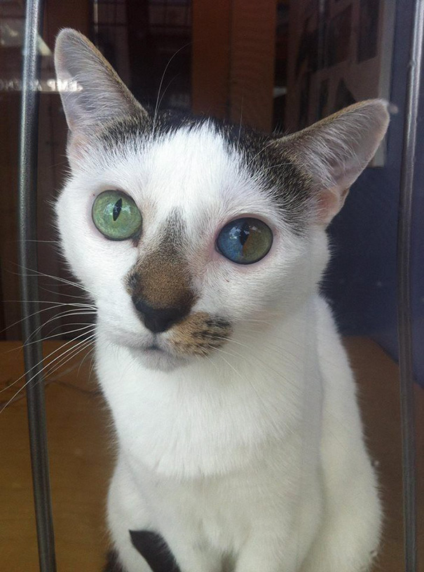 cat-eyes-different-colors-heterochromia-2