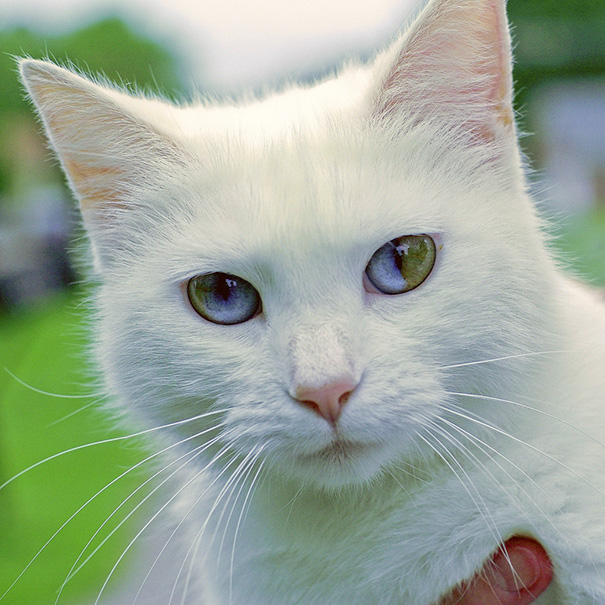 cat-eyes-different-colors-heterochromia-5