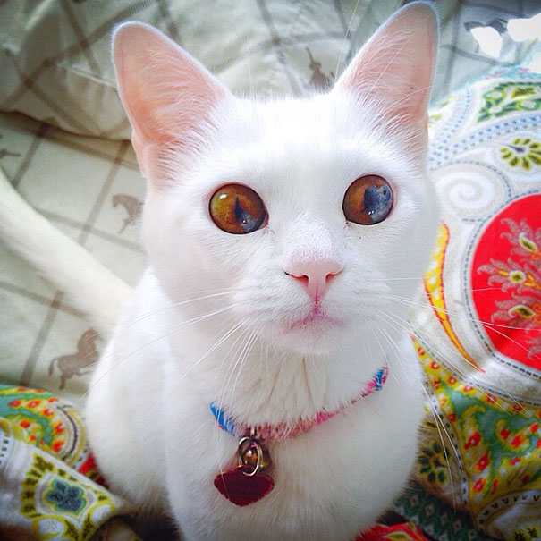 cat-eyes-different-colors-heterochromia-6