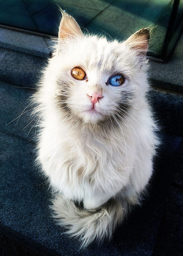 cat-eyes-different-colors-heterochromia-7
