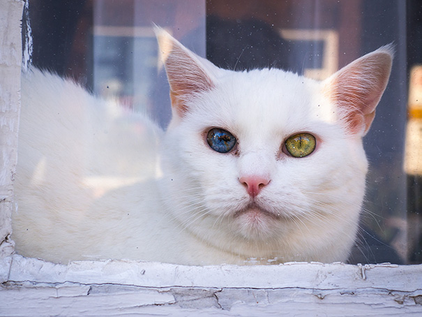 cat-eyes-different-colors-heterochromia-9