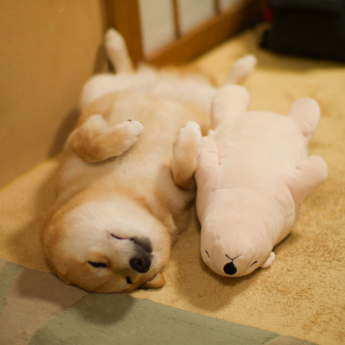 dog-shiba-inu-sleeps-teddy-bear-same-position-maru-2