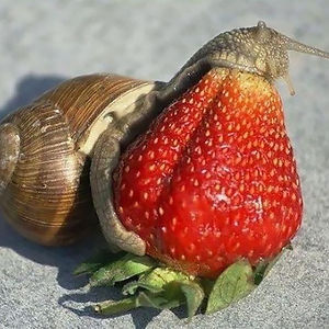 Snail Eating Strawberry