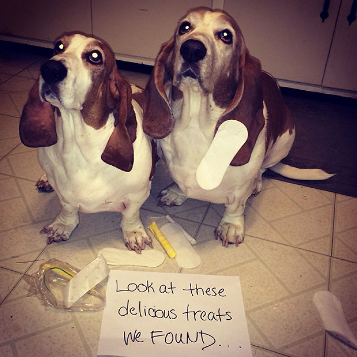 Came Home To Both My Basset Hounds Wearing Feminine Hygiene Products