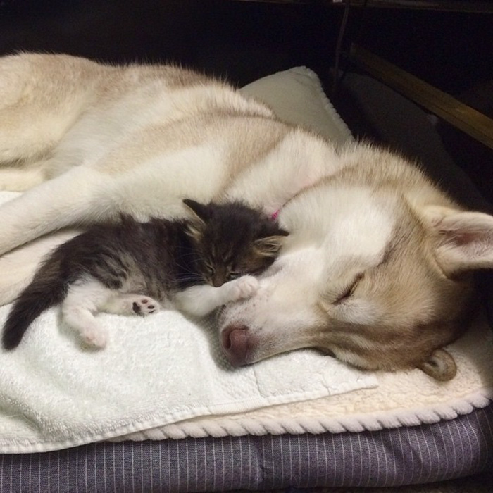 rosie-cat-grows-up-husky-mother-lilo-9