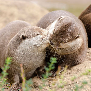 Ooh..please, An'otter Kiss?