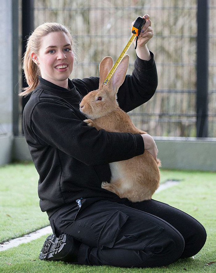 giant-rabbit-atlas-looking-for-home-scottish-spca-8