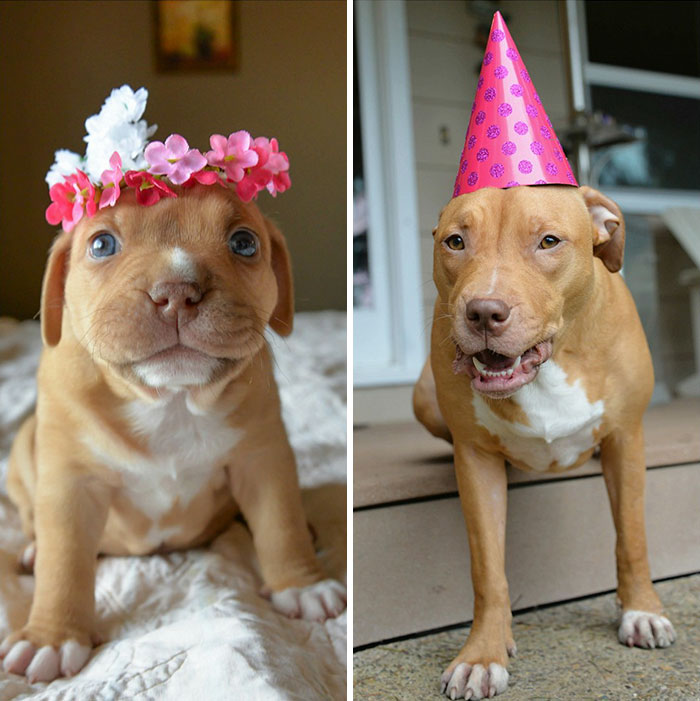 dog-abandoned-by-mother-celebrates-birthday-pit-bull-penny-roofus-and-kilo-5