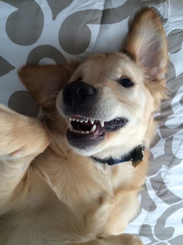 dog-braces-golden-retriever-teeth-problems-wesley-molly-moore-10