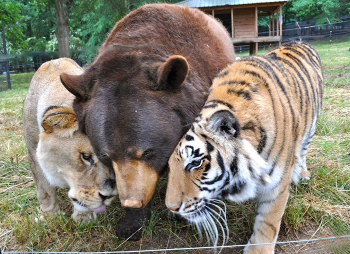 lion-tiger-bear-unusual-friendship-animal-shelter-georgia-12