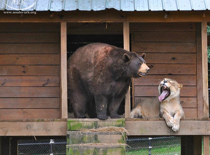 lion-tiger-bear-unusual-friendship-animal-shelter-georgia-25