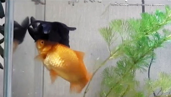 goldfish-helps-sick-friend-feed-stay-alive-1