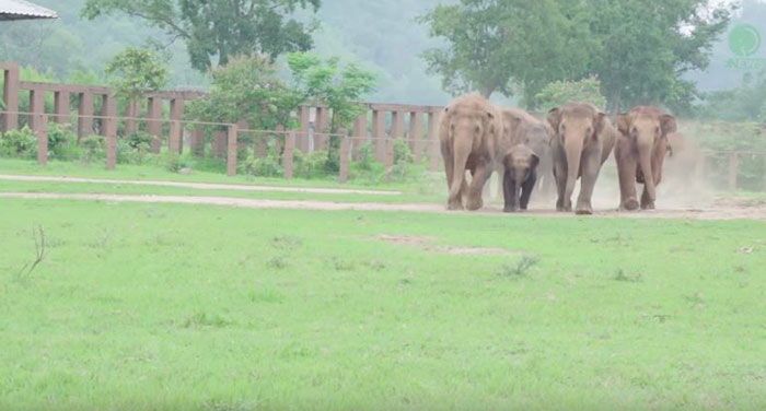 elephants-run-greet-new-rescue-baby-1