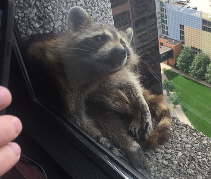 raccoon-skyscraper-mprraccoon-st-paul-minnesota-15